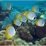 butterfly_fish_group
