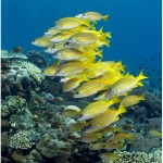 yellow_striped_snapper